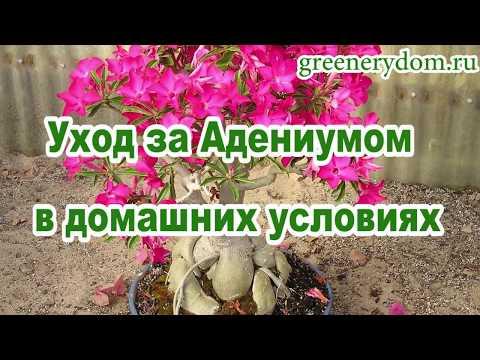 Адениум - роза пустыни: уход в домашних условиях, описание, размножение, полив