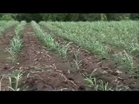 Negros cane farming 1