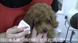 トイプードルの子犬を使って目の周りのお手入れ方法(涙やけのケア)を...