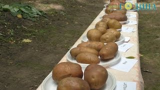Година ТВ - Картопля різних сортів