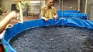 Budidaya Lele Bioflok Bekasi