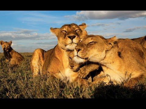 Nat Geo Wild   Crater Lions Of Ngorongoro African   National Geographic Animal