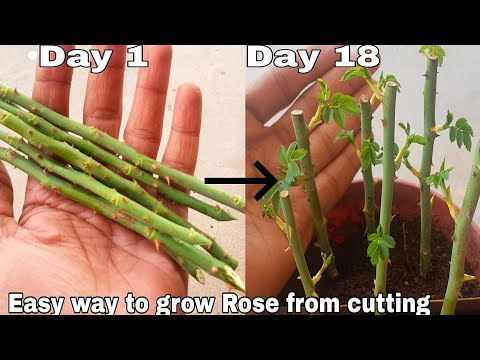 Easy way to grow rose from cutting, How to grow rose plant from cutting with English subtitles