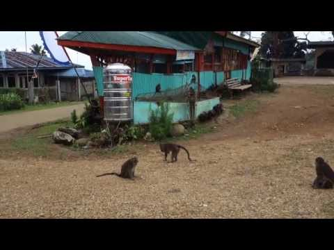 The tamed monkeys of New Israel / Makilala / Philippines in April 2013