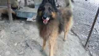 Бельгийская овчарка, тервьюрен (2014)(На видео прошлый выводок http://www.avito.ru/moskva/sobaki/schenki_belgiyskoy_ovcharki_111854983., 2014-07-23T16:53:18.000Z)