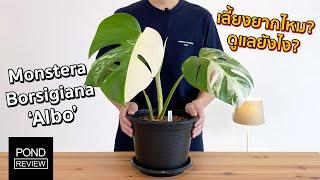 ต้นไม้อะไรราคาเป็นหมื่น! รีวิว Monstera Borsigiana Albo พร้อมวิธีดูแล - Pond Review