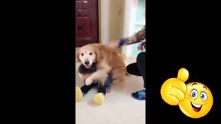 Собака защищает ребенка.  Не дает наказывать