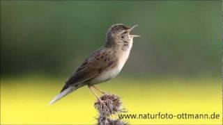 Der Feldschwirl - Grasshopper Warbler