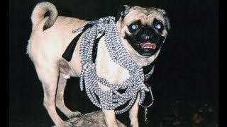 Vinny The Pug's Harness Evolution