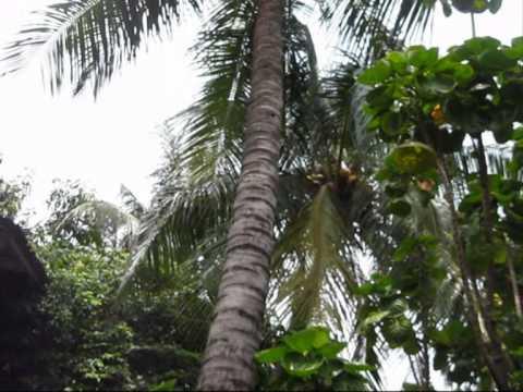 Image result for batang pohon kelapa