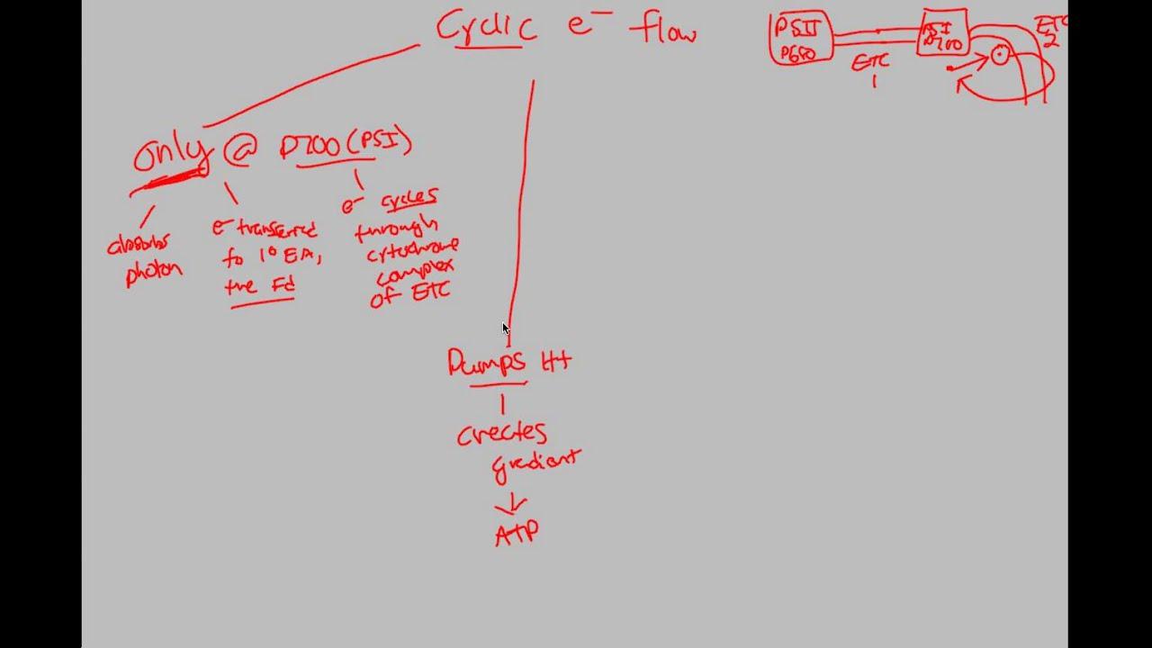 describe how photosynthesis and cellular respiration are cyclical