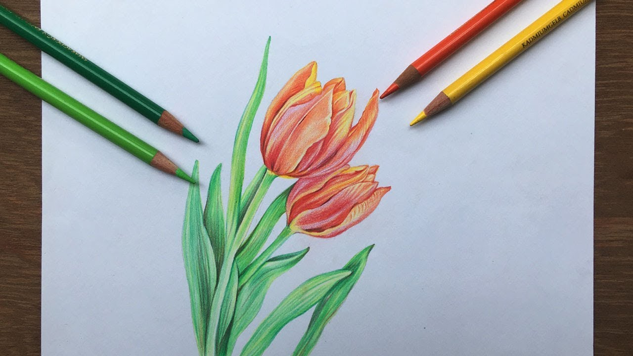 Tulip Flowers Drawing In Color Pencil Flower Drawing Youtube