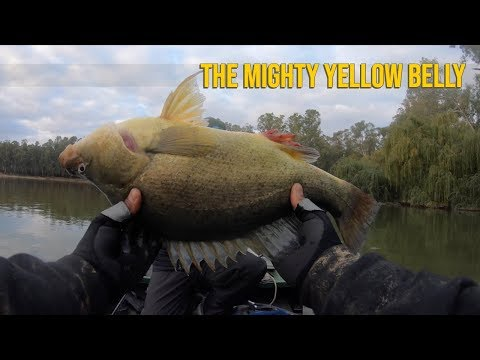 Golden Perch aka Yellow Belly   Big Bass Dreams Australia