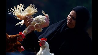 PRACTICAL LESSONS TO LEARN FROM WOMEN RAISING CHICKEN IN EGYPT BEFORE STARTING CHICKEN FARM BUSINESS