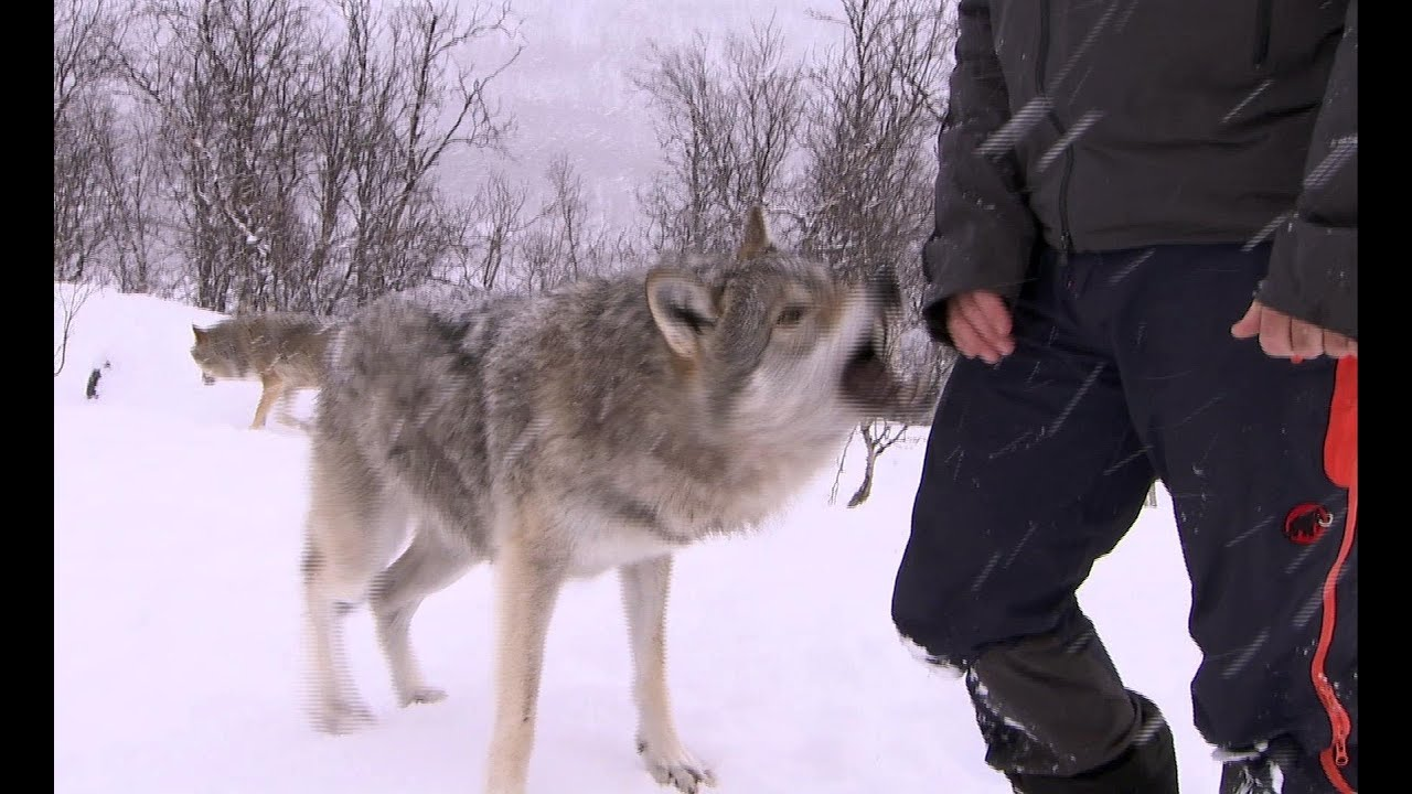 Download Terrifying Wolf Bites Steve | Deadly 60 | Series 2 | BBC
