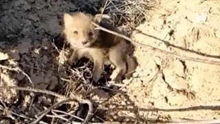 This Couple Discovered An Injured Baby Fox While They Were Out Looking For Jewels