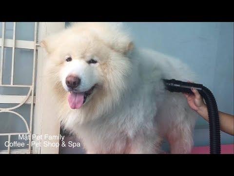 Biến hình Alaska thành sư tử trắng , muốn có gấu là phải xinh ::) ➤ Mật Pet Family
