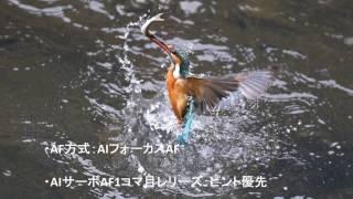 鶴見川の「カワセミ」誰でもとれるカワセミの飛び込み写真