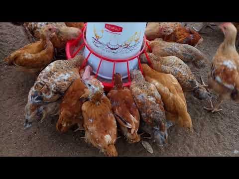 Baixar Chicks Chicken and Eggs Kenbro Improved Kienyeji
