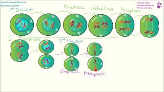 Mitosis and Meiosis. Explanation, Differences, Example 6 mark answers