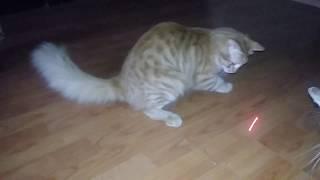 Лучшая игрушка для ленивого кота. Смешные моменты.Домашние кошки.