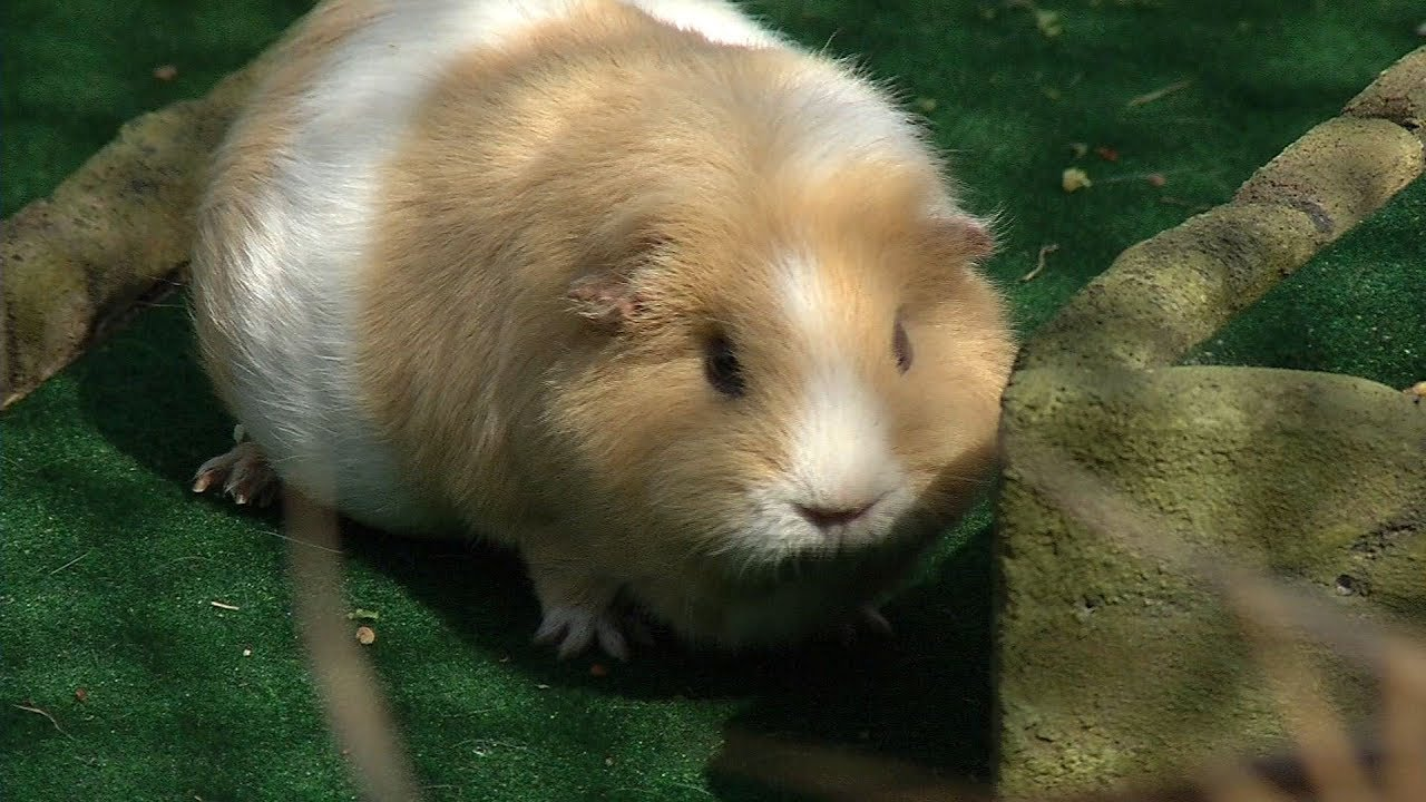 Brooklyn Park Guinea Pigs Featured At Minnesota Zoo Youtube