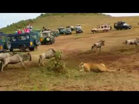 Download watalii wavamiwa na wanyama mbuga ya serengeti