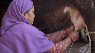 Closeup of a Hindu woman milking a cow in an Indian village