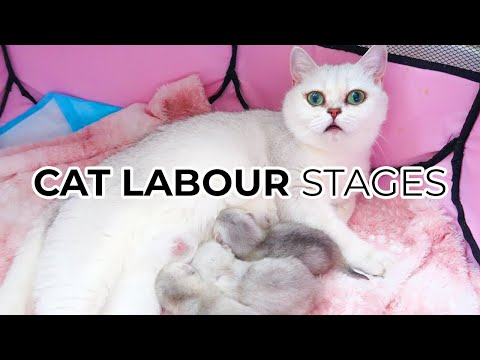 THE 3 STAGES OF CAT BIRTH Featuring: My British Shorthair Cat Luna 🌙 + 1000+ SUBSCRIBER GIVEAWAY! 🎁
