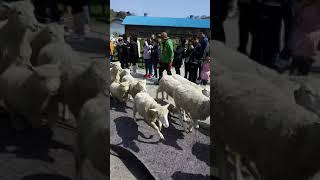 (2017년쯤) #대관령양떼목장