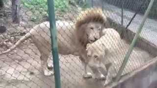 White Angry Lions Mating at a ZOO 2015