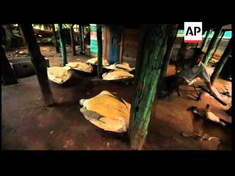 Indigenous Nicaraguans Hunt Endangered Green Turtles