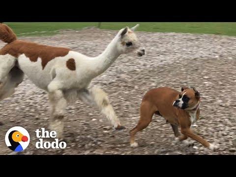 Maggie the Boxer VS Annie the Alpaca | The Dodo