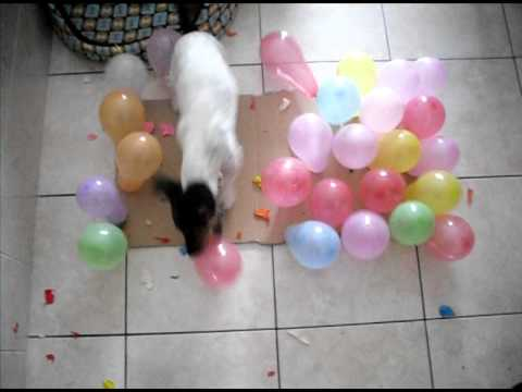 Jack Russell Terrier Vs Balloon