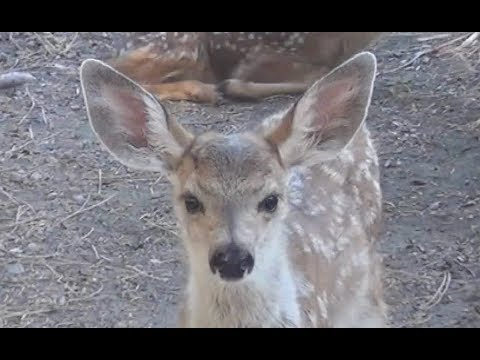 Death Of Her Fawn – A Mother Deer's Reaction