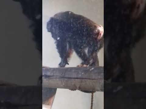 Baby chimpanzee Edinburgh zoo play fun part 2