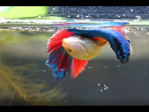 Betta Fish breeding video in Malayalam