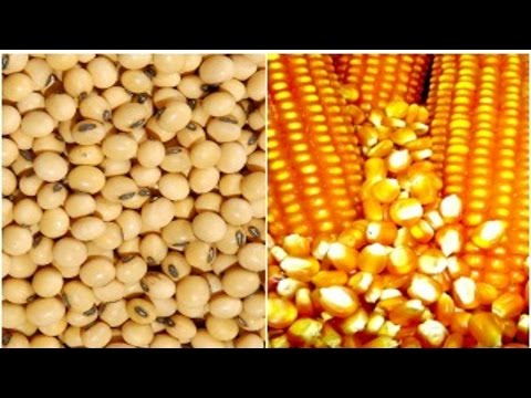 Alimentação de Gado de Corte - Milho e Soja