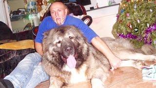 Repeat youtube video Jozo DOGS - Grizli (kazan) 15 months old . Caucasian Shepherd