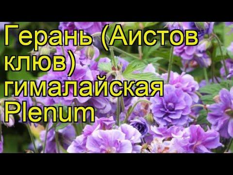 Герань гималайская Пленум. Краткий обзор, описание характеристик geranium himalayense Plenum
