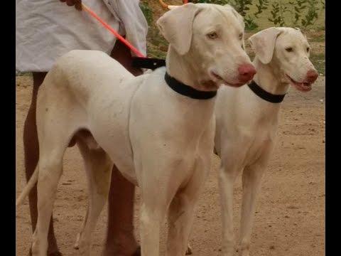 rajapalayam dog pure breed