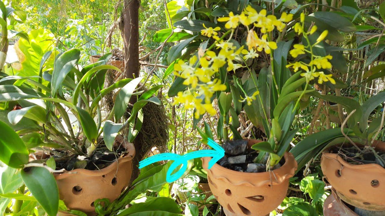 ถ่าน ของดำที่มีดีกับกล้วยไม้ ดอกสวย งามตลอด
