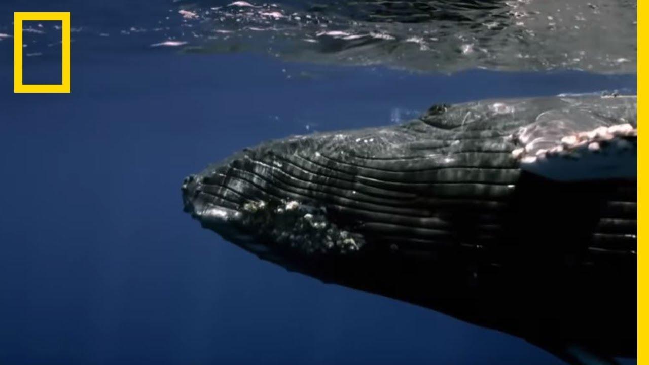 Réunion de baleines à bosse
