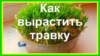 Как прорастить травку для хомяка. Простой способ #животные