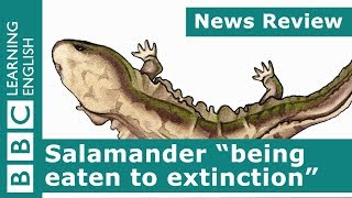 Salamander 'being eaten to extinction': BBC News Review