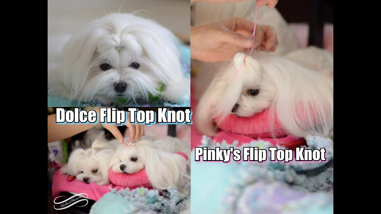 Grooming Dolce Flip Top Knot Tutorial Korean Cut Maltese Top Knot