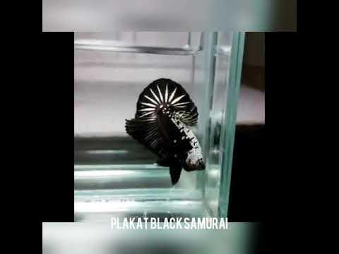 Jenis jenis ikan cupang plakat 2019 - YouTube