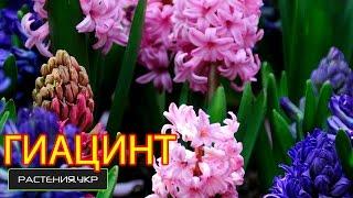видео Цветы гиацинты: фото, посадка и уход в домашних условиях и в грунте