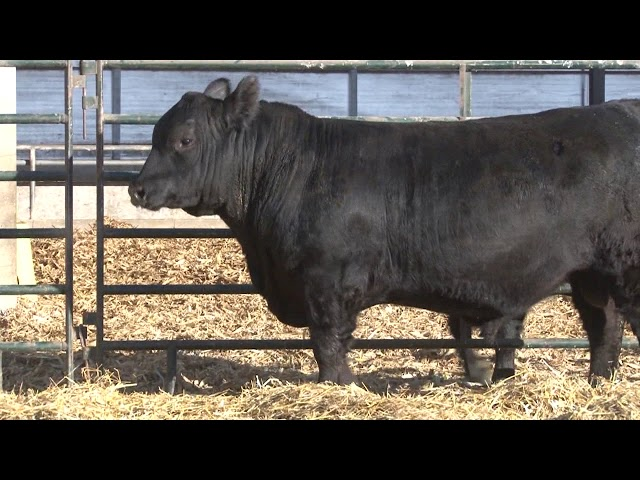 Schiefelbein Angus Farms Lot 192