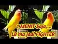 Lovebird Ini Pintar Men Trigger Lawan Labet Yang Dengar Langsung Terbakar Emosi Dan Gacor Seketika  Mp3 - Mp4 Download